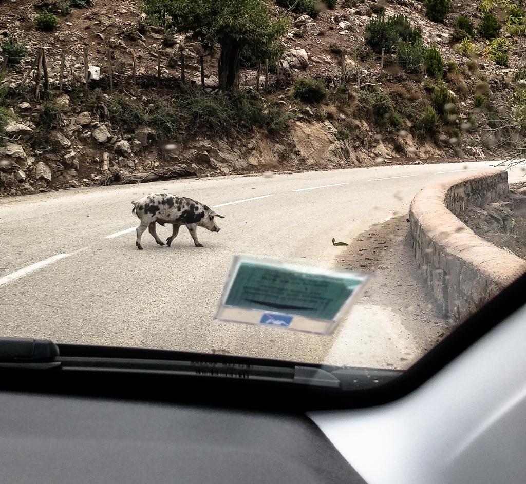 Schwein auf der Bergstraße bei Evisa